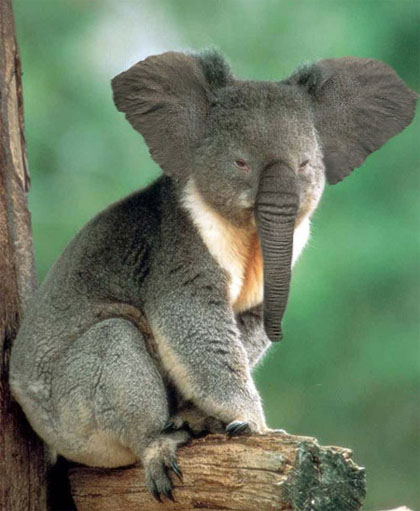 Koala Elephant Photoshop